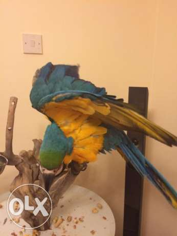 Home Trained Male Amd Female macow parrots For Sale Now