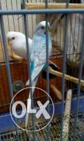 White female red eyes and male blue normal 1 pair only 10dinnar