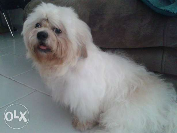 white male shih tzu family dog (1 year old), all vaccinations (+rabie