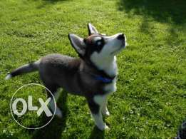 Giving for good homes siberian husky puppies