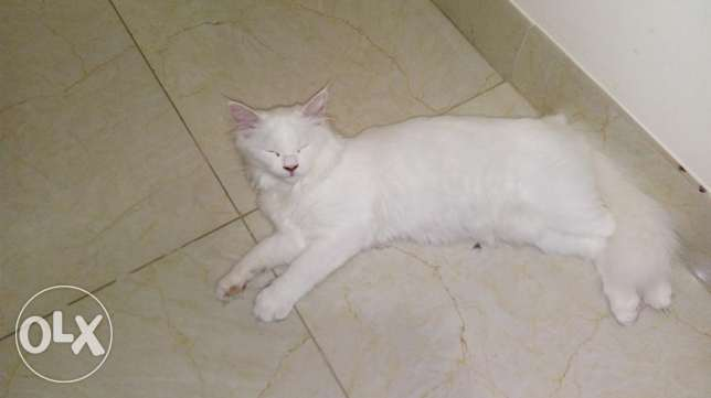 White female cat for sale