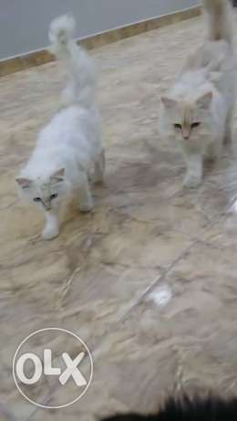 Persian cats for sale توبلي -  1