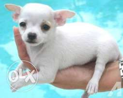 white color chihuahua female , pure , original ready to join respected