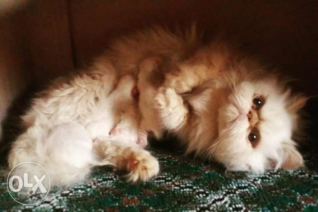 Persian / Himalayan kittens Available for Reservation