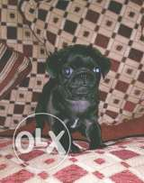 Pug puppy pure breed special black coat