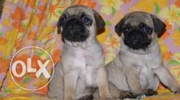 pug puppies pure breed