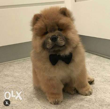 for sale chow chow female