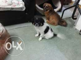 lovely looking white with black spot Pomeranian puppy