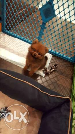 3 months old male bear type Pomeranian puppy. Microchipped.