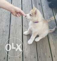 Green Light Siberian Husky for Sale