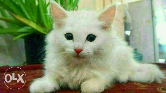 Cute persian kitten looking for new home
