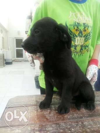 Labrador Puppies Black Available