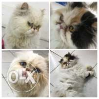 for sale male & female (cfa)