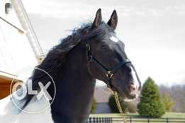 4 years old pinto friesian sport horse ready for adoption