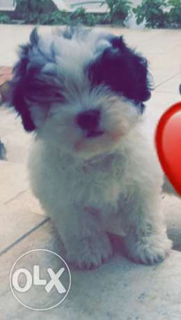 maltese dog for sale 100 bd , male , 1 month 3 weeks old