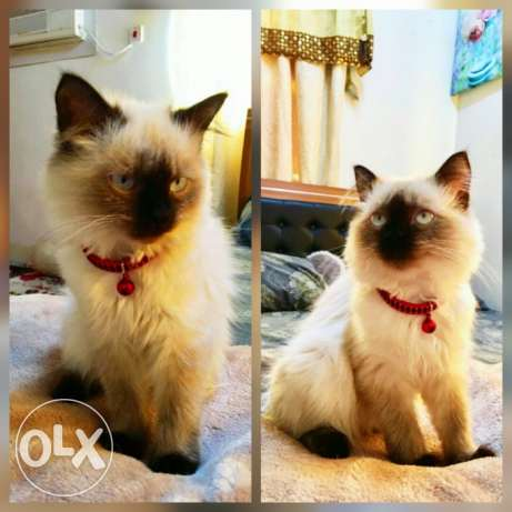 Mix Himalayan Siamese female Kitten 4 months old