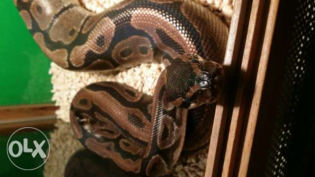 Ball python for sale المحرق‎ -  1