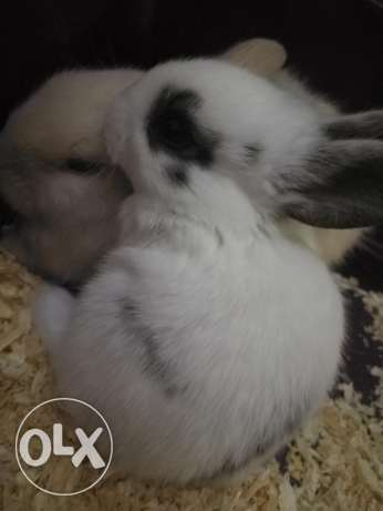 bunny/rabbit for sale