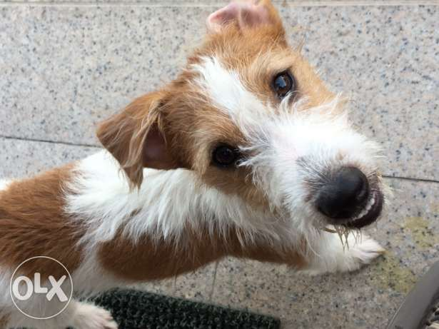 Jack Russell Terriers pedigree