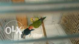 Africa love birds for sale