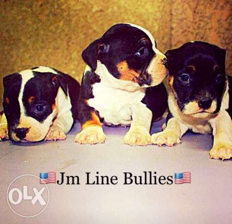 american bully dog pocket size