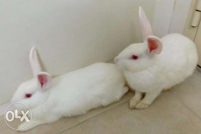 Pair of Rabbits for sale المحرق -  1