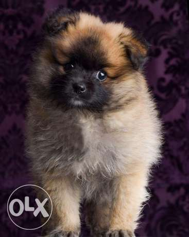 Pomeranian Puppies males and females for sale