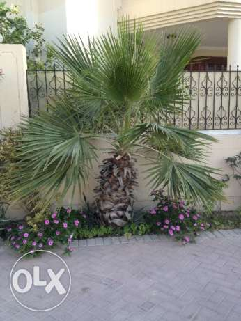 For sale washington palm tree