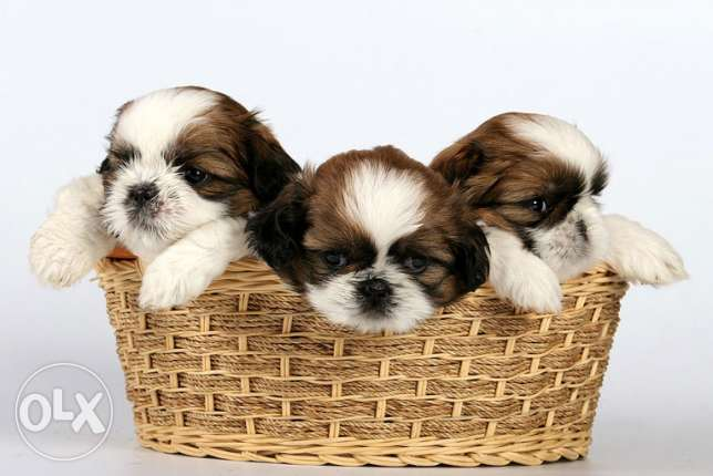lovely and cute , pure shihTzu looking for good home