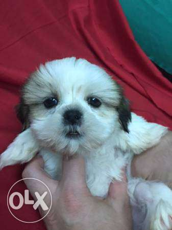 Toy Size Shih tzu Puppies