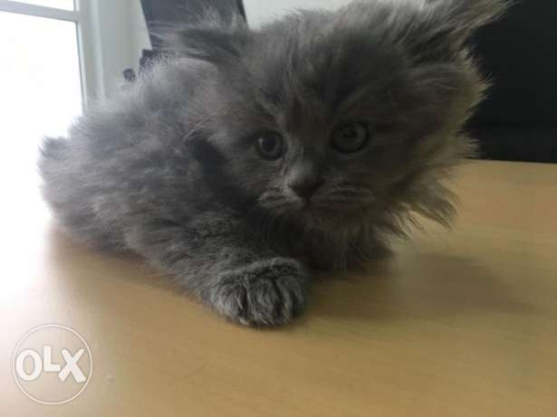 Male Persian cats for sale الرفاع‎ -  2