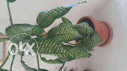 Beautiful and large indoor plants for sale
