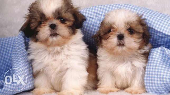 50 days old pure shihtzu puppies