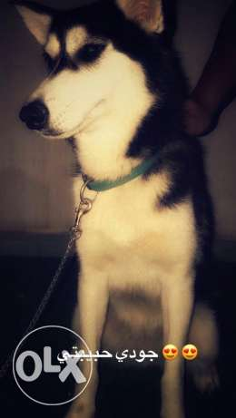 Mixed husky (german&husky breed) for sale