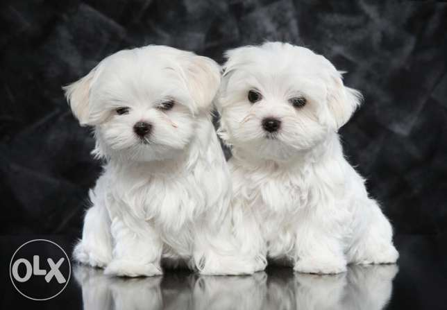 Maltese puppy from Europe