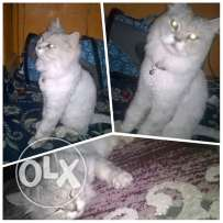 Forsale 5month old cat