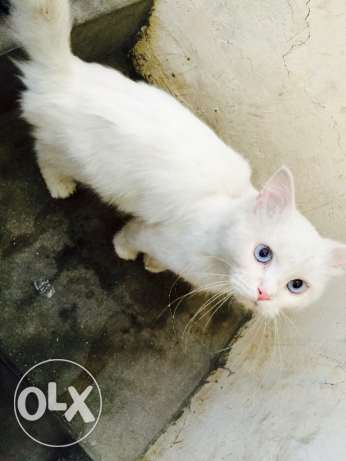 White with blue eyes persian cat for sale المحرق‎ -  1