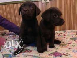 Top Labrador puppy for sale (chocolate)