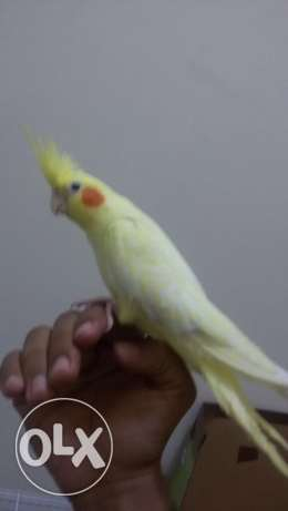 Cocktail Latino male for sale..