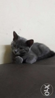 2 Month Old Rare COlour Parsian Kitten For Sale