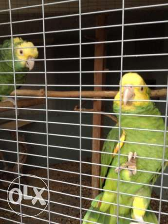 Proven Pair Of Double Yellow Head Amazon بو رحامه -  1