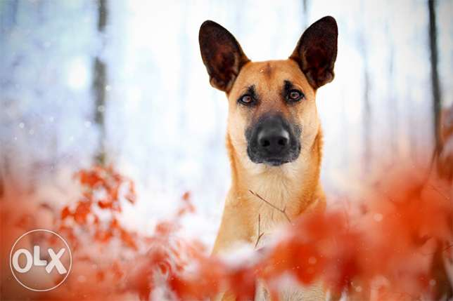 Free - for adoption Belgian shepherd dog , Male , 2 Years old with