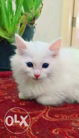 Persian kitten urgent sale 2 months old