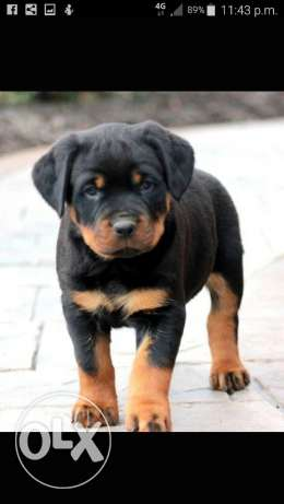 Rottweiler puppy 2 month old for sale