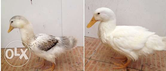 For sale duck