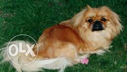 lovely Pekingese dog is in heat cycle , looking for partner for stud