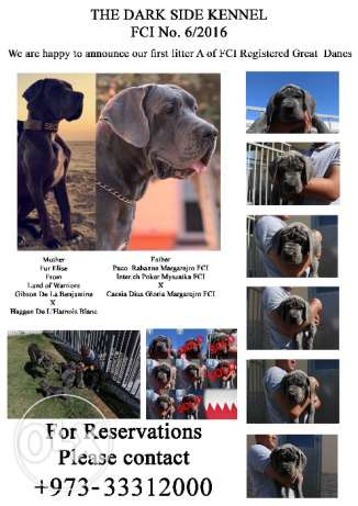Blue Great Danes FCI Registered