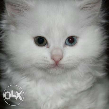 Male and female persian and jumaican kittens