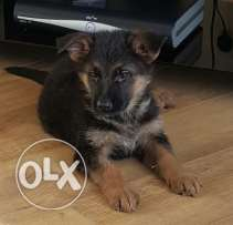 for adoption german sheperd puppies