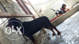 For sale rottweiler Male and female only 300bd